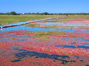 cape-cod-marthas-vineyard-cranberry-farm