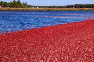 cranberries floating in water on a Cranberry Bog tour in Cape Cod