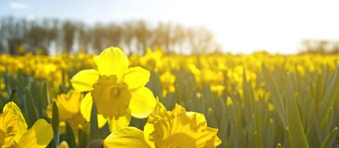 field of bright yellow daffodils