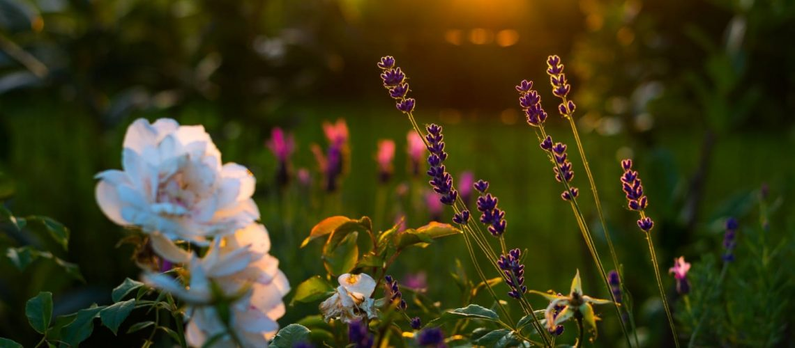 Wildflowers blooming in a field with the sunset in the background.