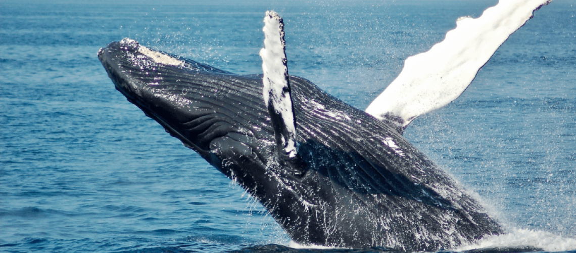 ultimate guide to the best whale watching on Cape Cod